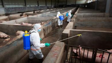 Photo of الخنازير تهدد الاقتصاد الصيني
