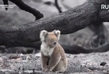 Photo of إنقاذ للحيوانات الناجية من الحرائق التي اندلعت مؤخرا في جزيرة الكنغر جنوبي أستراليا