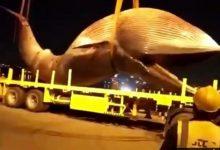 Photo of شاهد.. لحظة انتشال حوت نافق بحجم شاحنة من البحر في الكويت