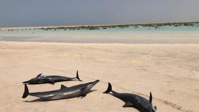 Photo of العثور على عشرات الدلافين ملقاة على شاطئ بحر أملج .. وبيان من الحياة الفطرية يكشف السبب