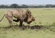 """Photo of شاهد: أسد يحفر في الأرض لمدة 7 ساعات متواصلة.. وفجأة يعثر على """" الصيد الثمين"""